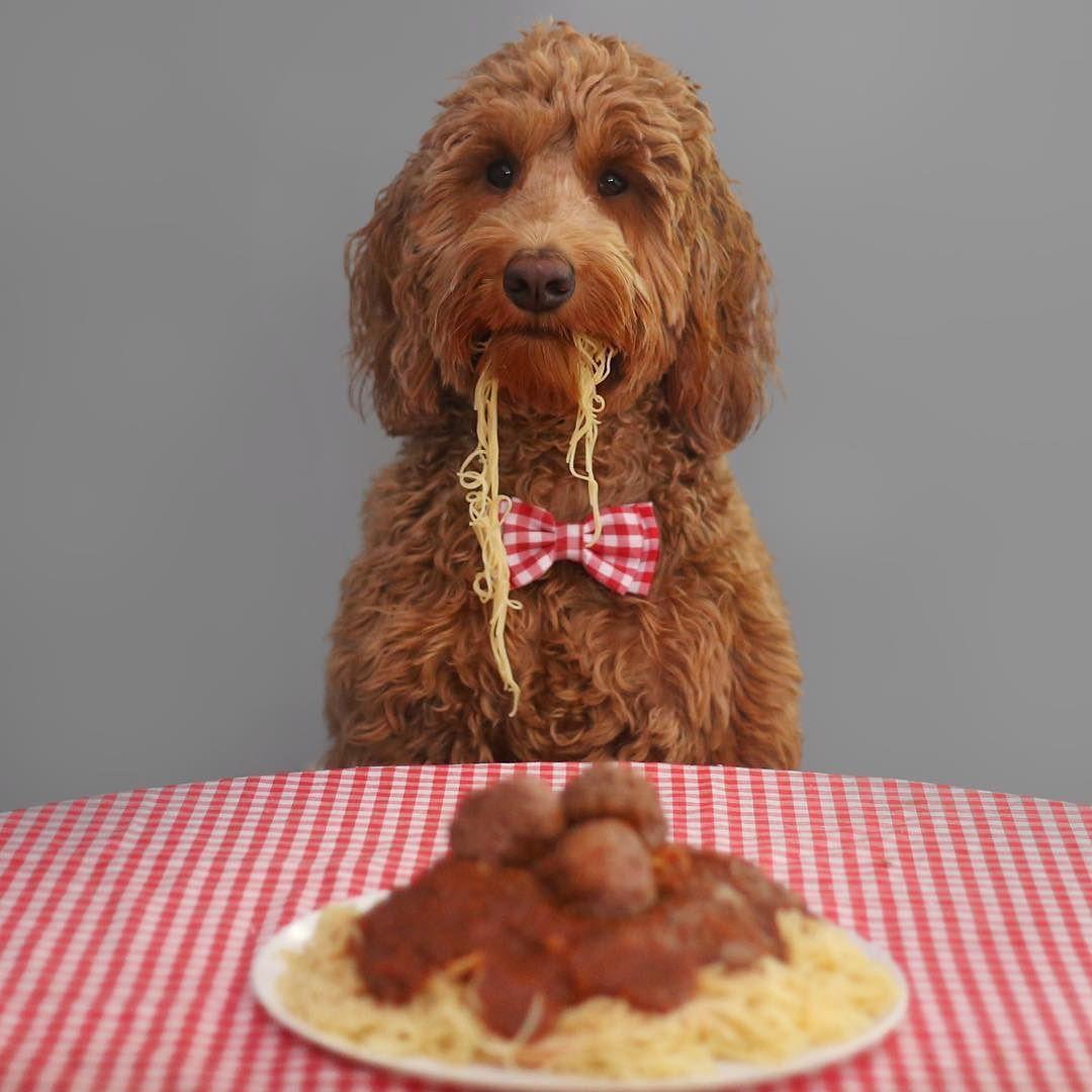 Pasta la vista  #oliverthegoldendoodle #goldendoodle