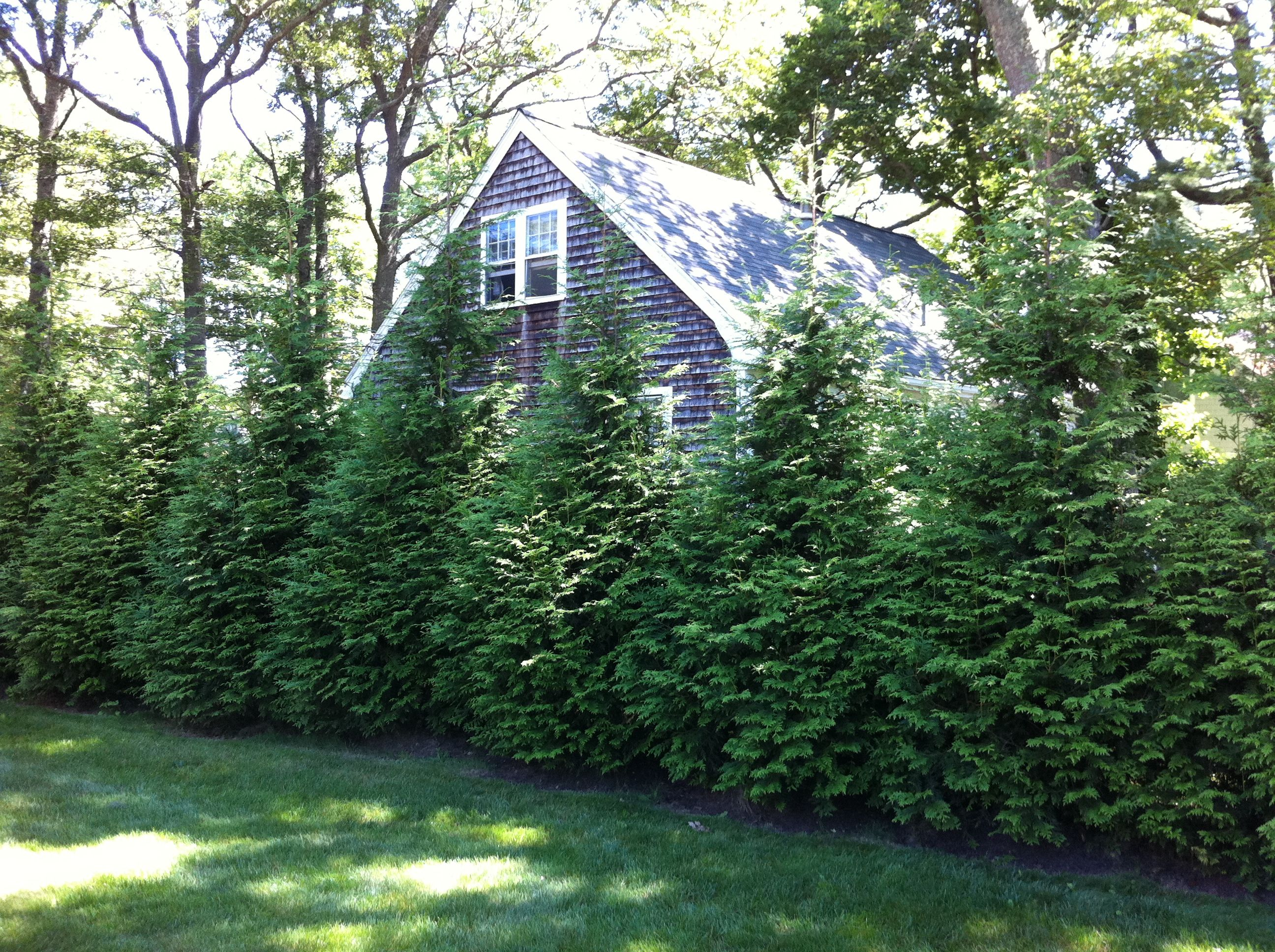 Pix for green giant arborvitae screen outdoor ideas for Green privacy fence ideas