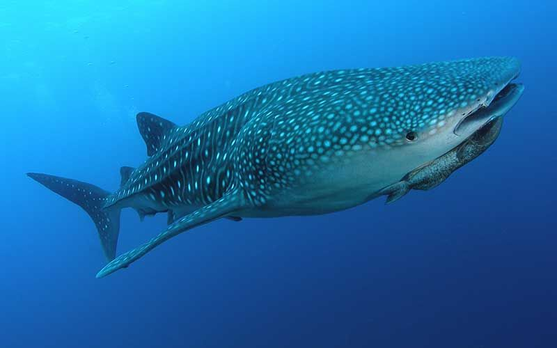 Tiburón ballena (Rhincodon typus) | animales | Pinterest | Tiburones ...