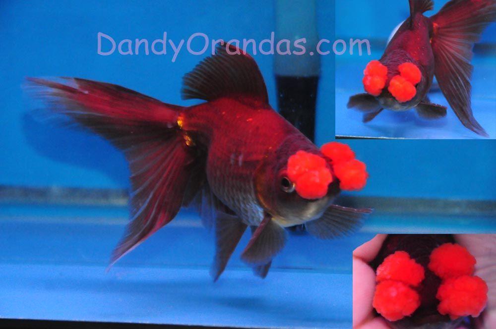 Pom Pom Goldfish Rare Goldfish Goldfish Breeding