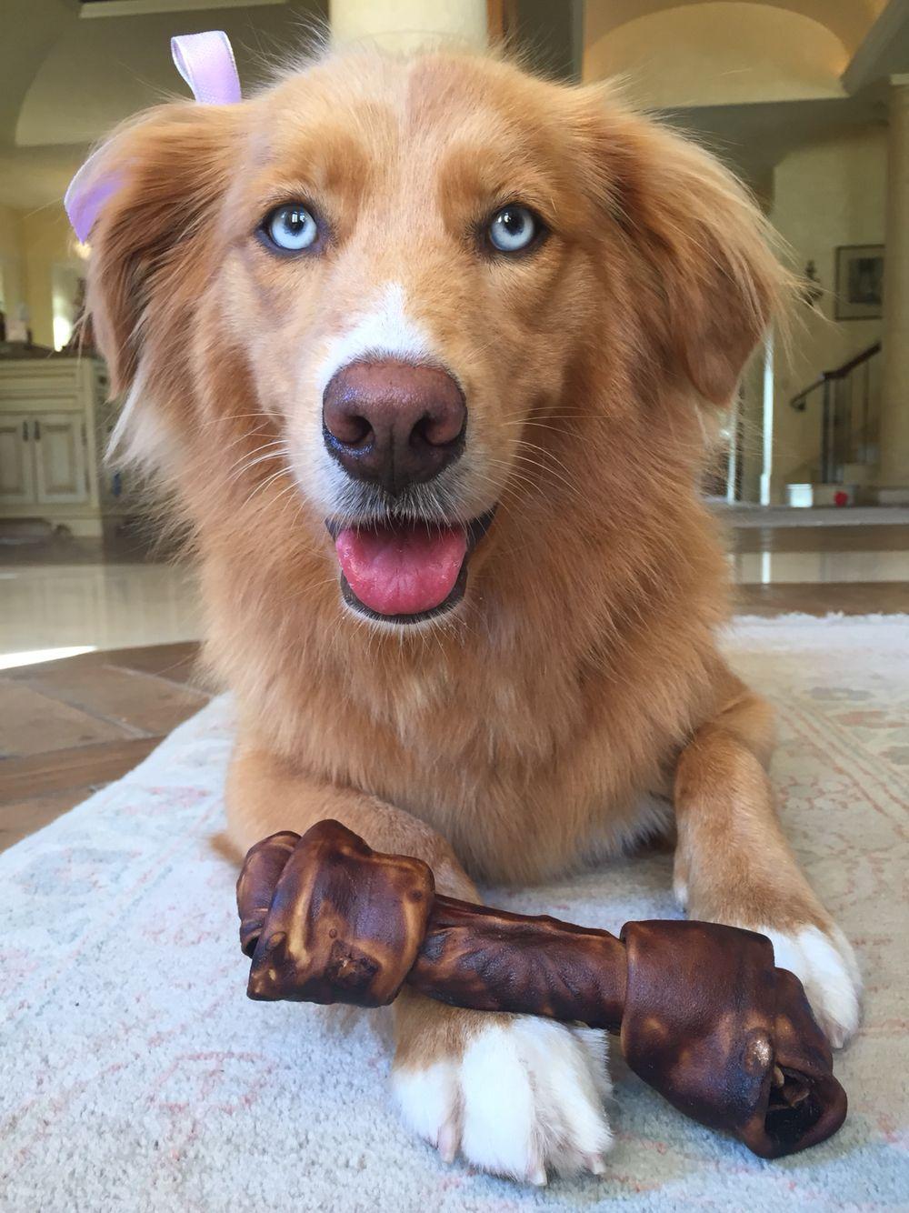 Nala The Golden Aussie Husky Mix Blue Eyed Dog Golden Retriever Mix Puppies Dogs