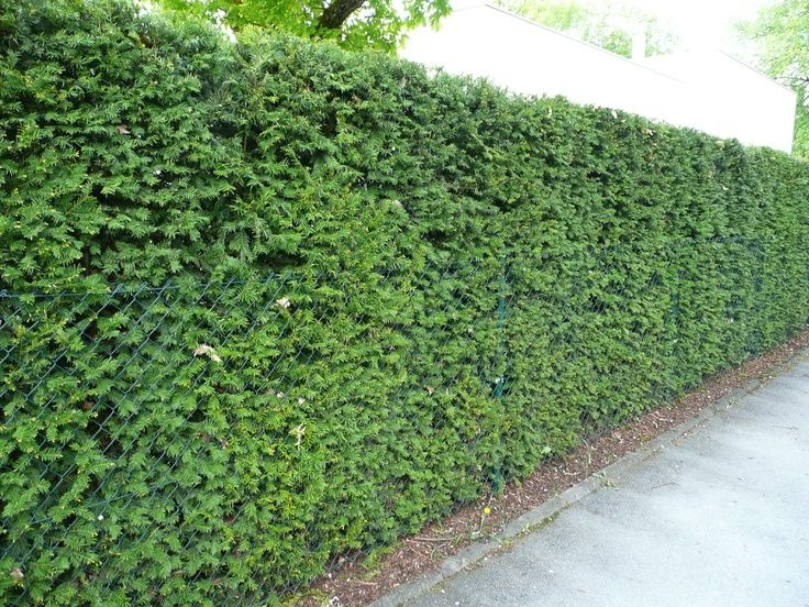 Hicksii Yew Is Another Plant Much Like The Juniper This Shrub Is Notorious For Its Gorgeous Green Needles Althoug Fence Landscaping Living Fence Green Fence