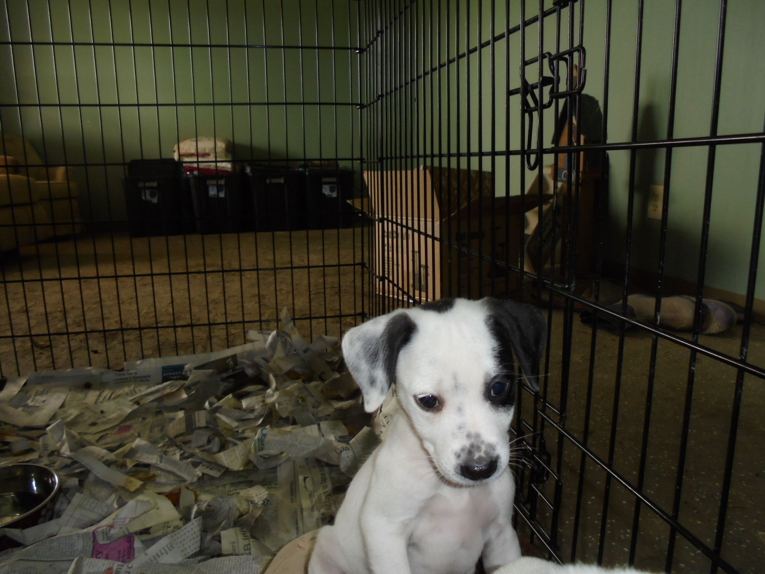 Adopt spots on dog search cattle dogs mix labrador