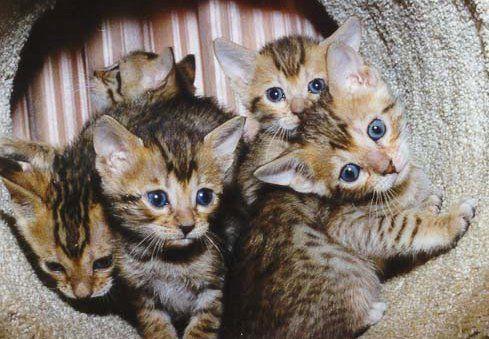 Bengal Kittens In 2020 Dog Cat Pictures Bengal Kitten Asian Leopard Cat