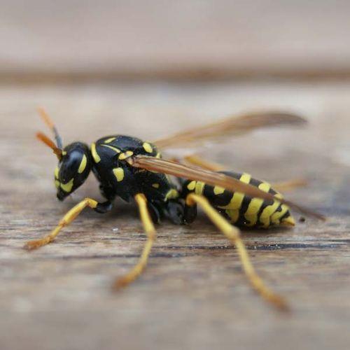 6d79d9dc953151e61d7e49bb6fc0ebe8 - How To Get Rid Of Small Paper Wasp Nest