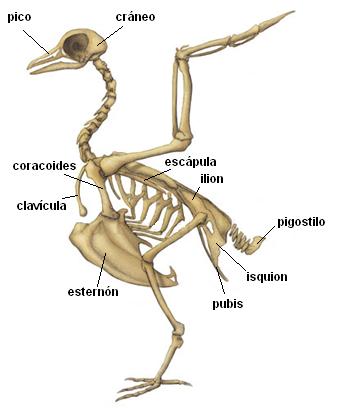 anatomía de los pinguinos - Buscar con Google | animal | Pinterest ...