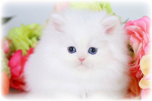 White Teacup Persian Kitten For Sale White Cat Blue Eyed White Persian Kittens Teacup Persian Kittens Teacup Cats