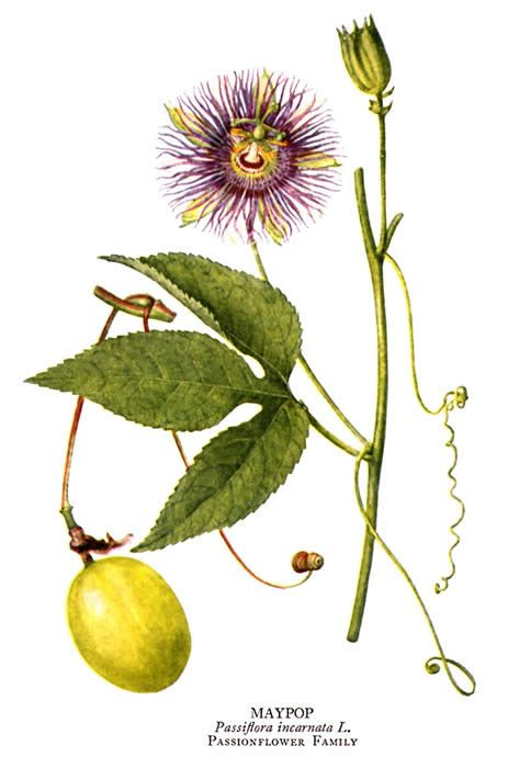 Permaculture Plants Maypop Passion Flower Passion Flower Herb Herbalism