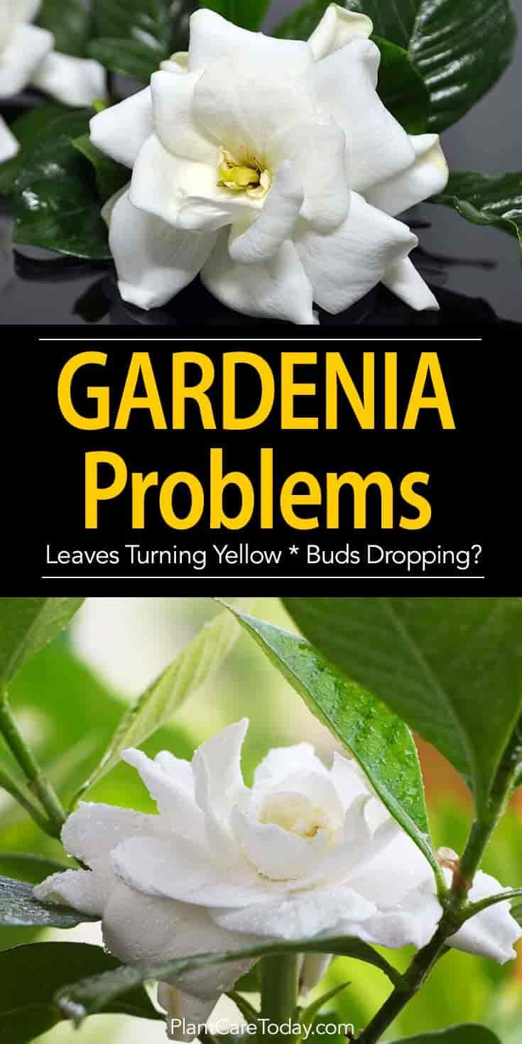 Gardenia Pests Diseases Leaves Turning Brown More Gardenia Plant Gardenia Trees Growing Gardenias