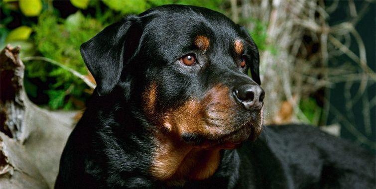 Rottweiler Detaillierte Informationen Zur Hunderasse Hunde