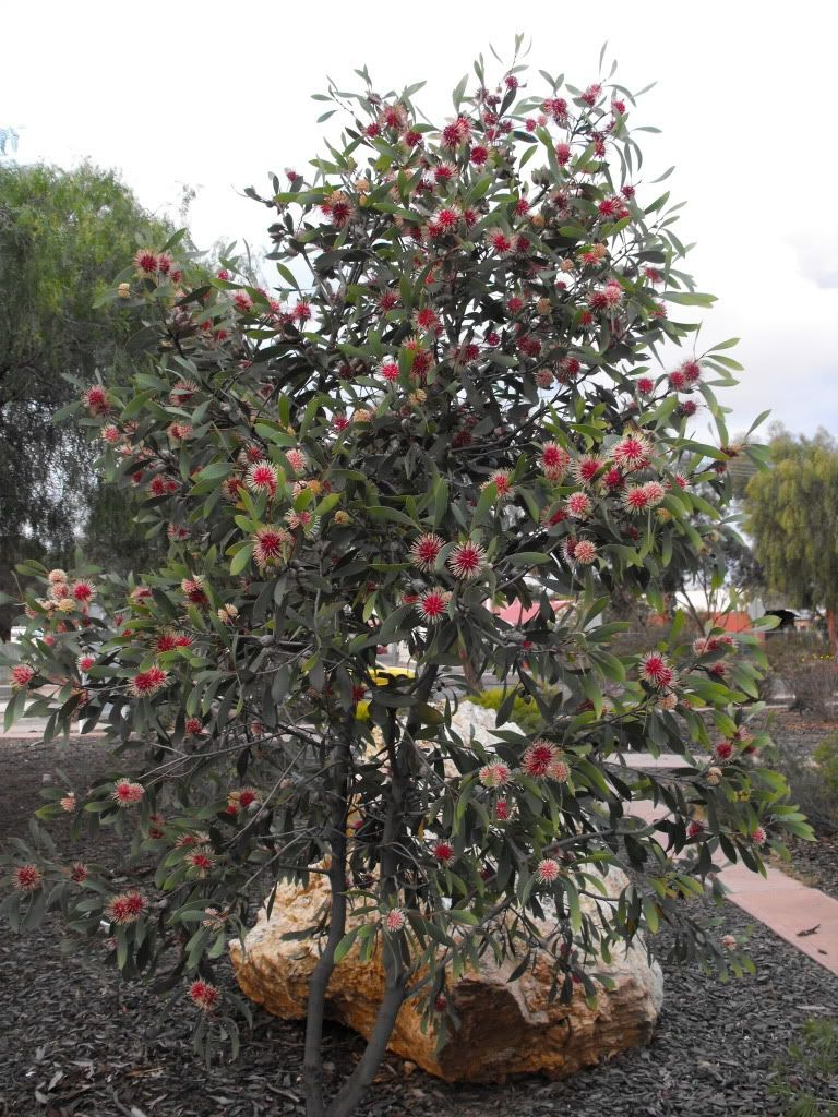Hakea Laurina Great Small Tree Neat Pink And White Blooms