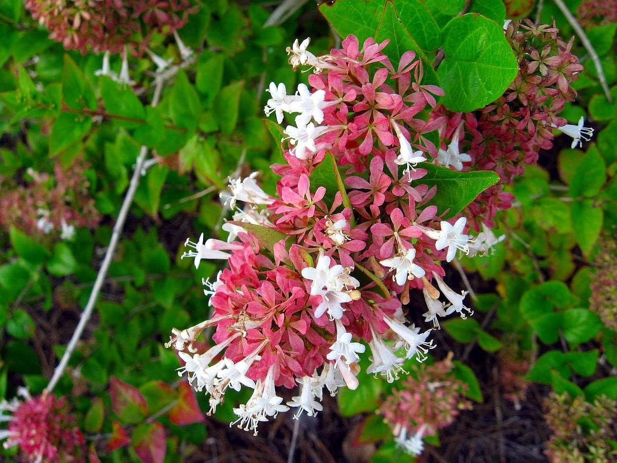 Abelia Abelia Chinensis Gf Sh Abelia Evergreen Shrubs