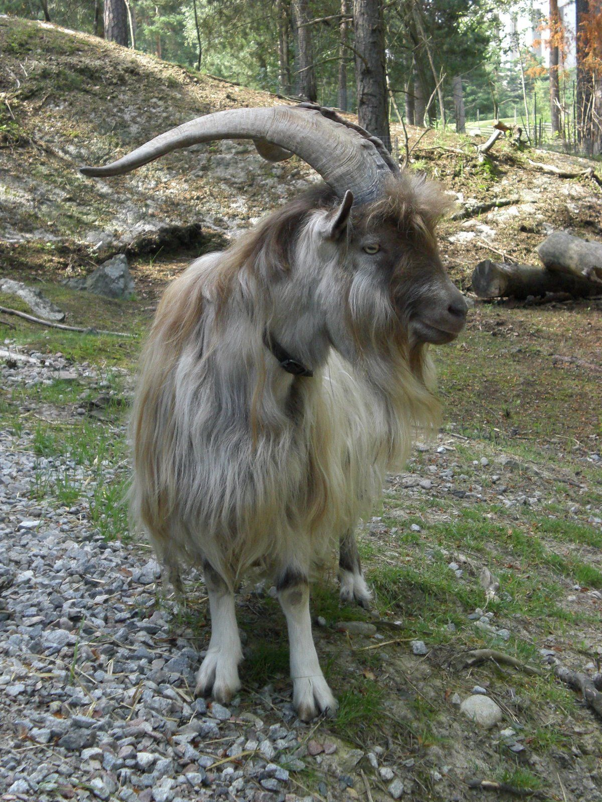 A Goat S Journey Over Life S: The Peasantry Goat Is A Type Of The Swedish