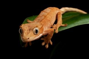 crested gecko - Google Search