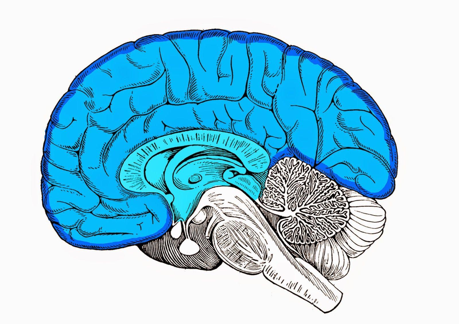 Encefaloguía para neuromarketers - Brain and Marketing   ANATOMIA ...
