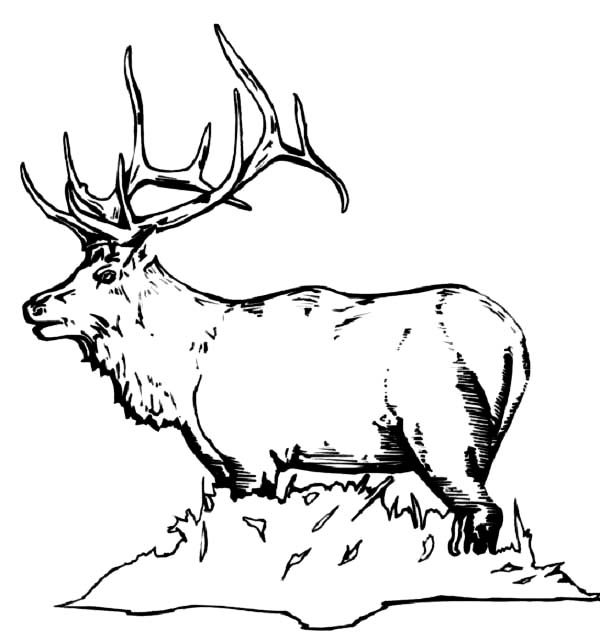 Bull Elk Coloring Pages Download Print Online Coloring Pages For Free Color Nimbus In 2020 Deer Coloring Pages Online Coloring Pages Coloring Pages