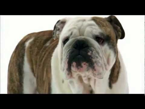 Top 5 Best Large Dog Breeds For Apartments English Bulldog Dog Dogs 101 English Bulldog