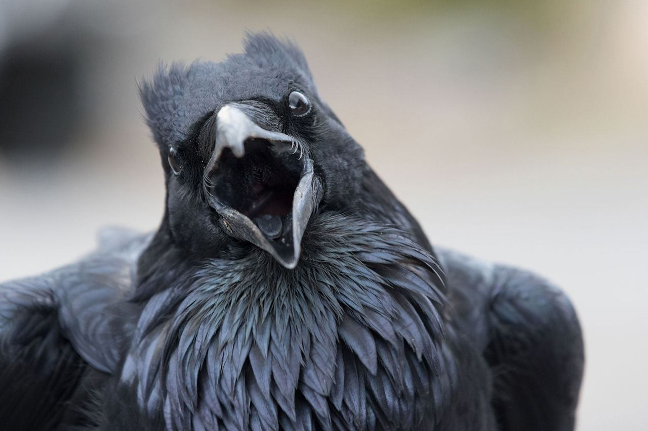 исполнительнице ворон злой картинка проживите