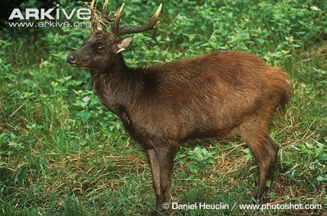 Philippine Brown Deer, Philippine Sambar or Philippine ...