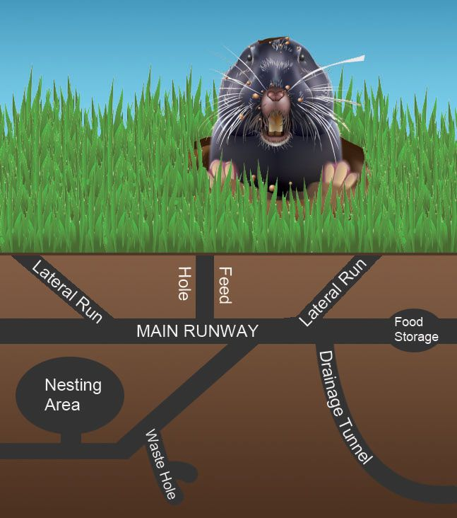 Gopher In Backyard: A Side View Of An Underground Gopher Tunnel System