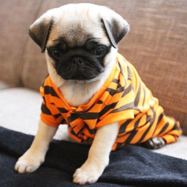 Pug Dummy Apricot Pugs Pugs Dogs Puppies