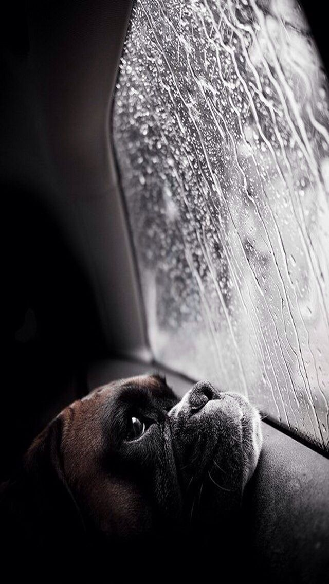 Boxer Dog Sitting In A Car Looking Out A Window At The Rain Boxer Dogs Animals Cute Animals