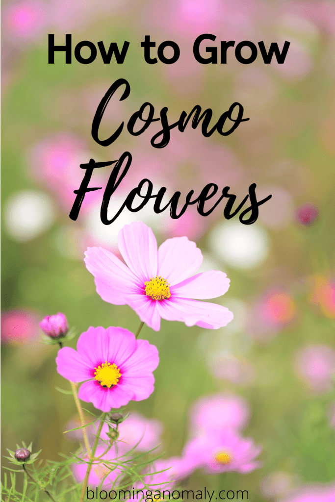 How To Grow Cosmo Flowers In 2020 Cosmos Flowers Backyard Flowers Garden Beautiful Flowers Garden