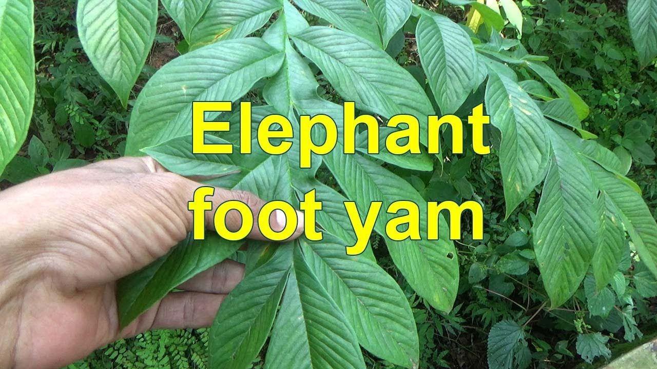 Elephant Foot Yam Amorphophallus Paeoniifolius Amorphophallus Titanum Plant Leaves Titan Arum