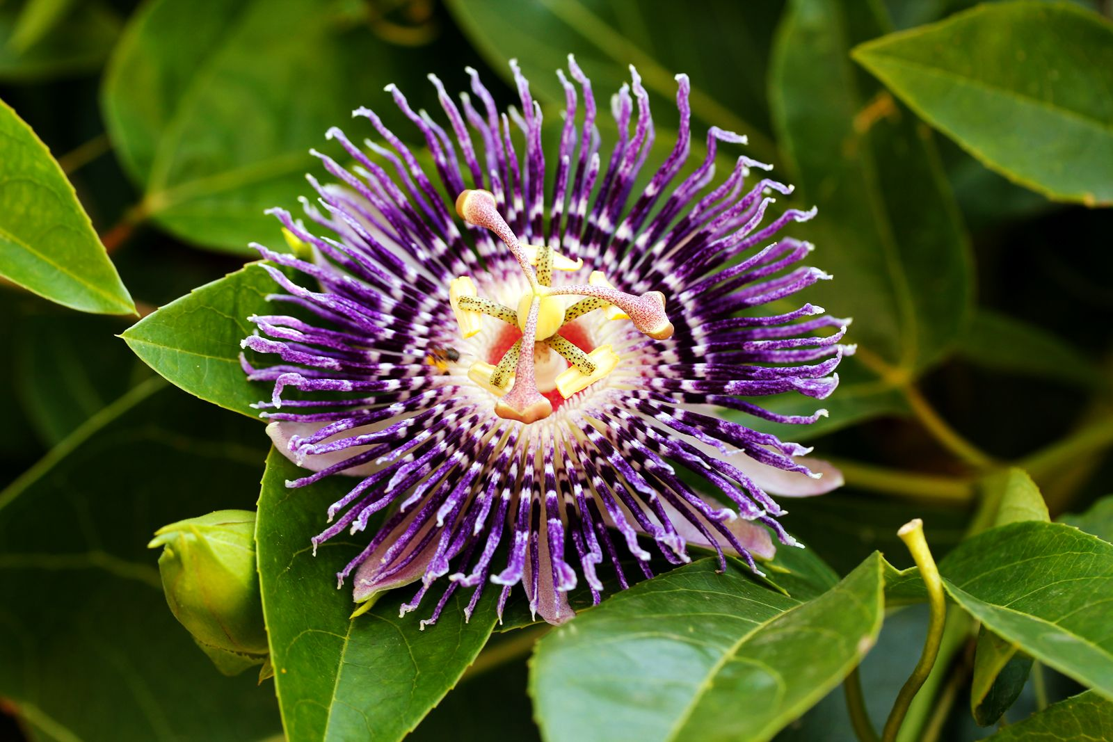 Passion Fruit Flower Flowers Photography