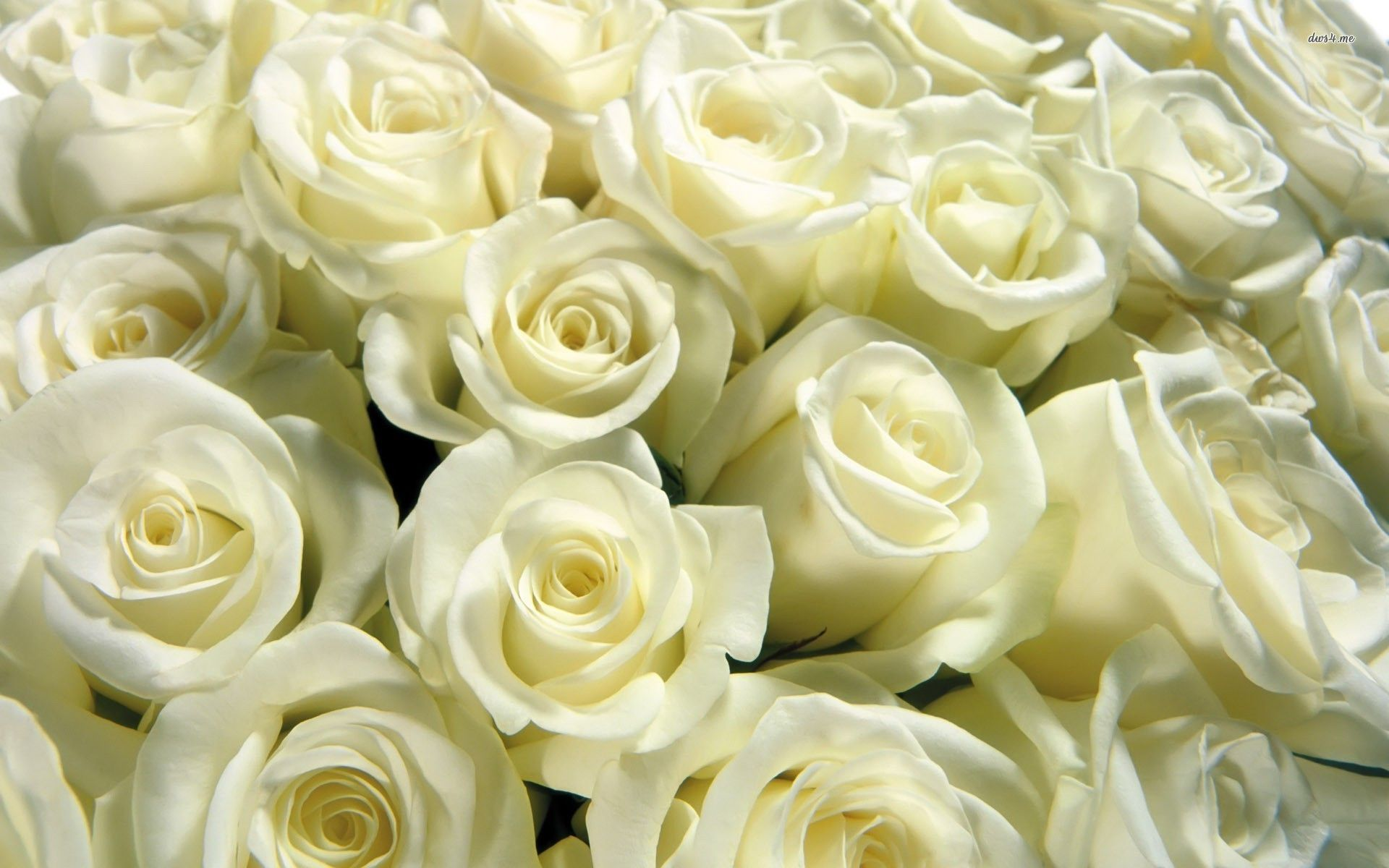 white rose photos and wallpapers 1920×1200 white rose wallpaper (54
