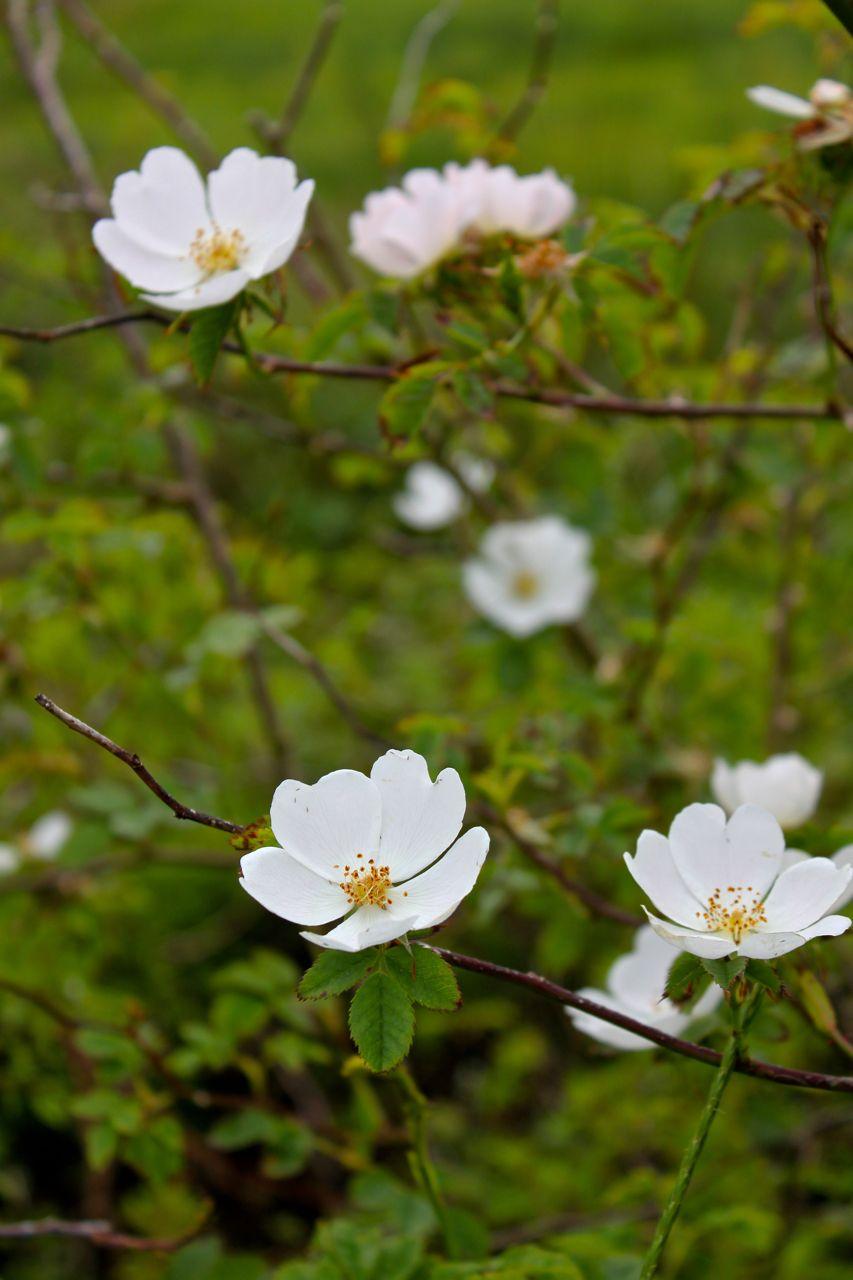 Wild Irish Rose Wild irish rose, Irish flower, Irish rose