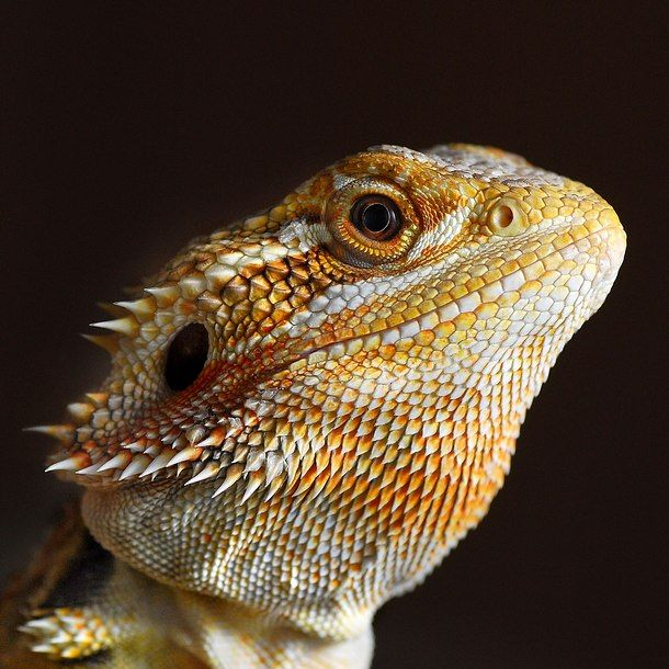 Bearded Dragon   Bearded dragon   Pinterest