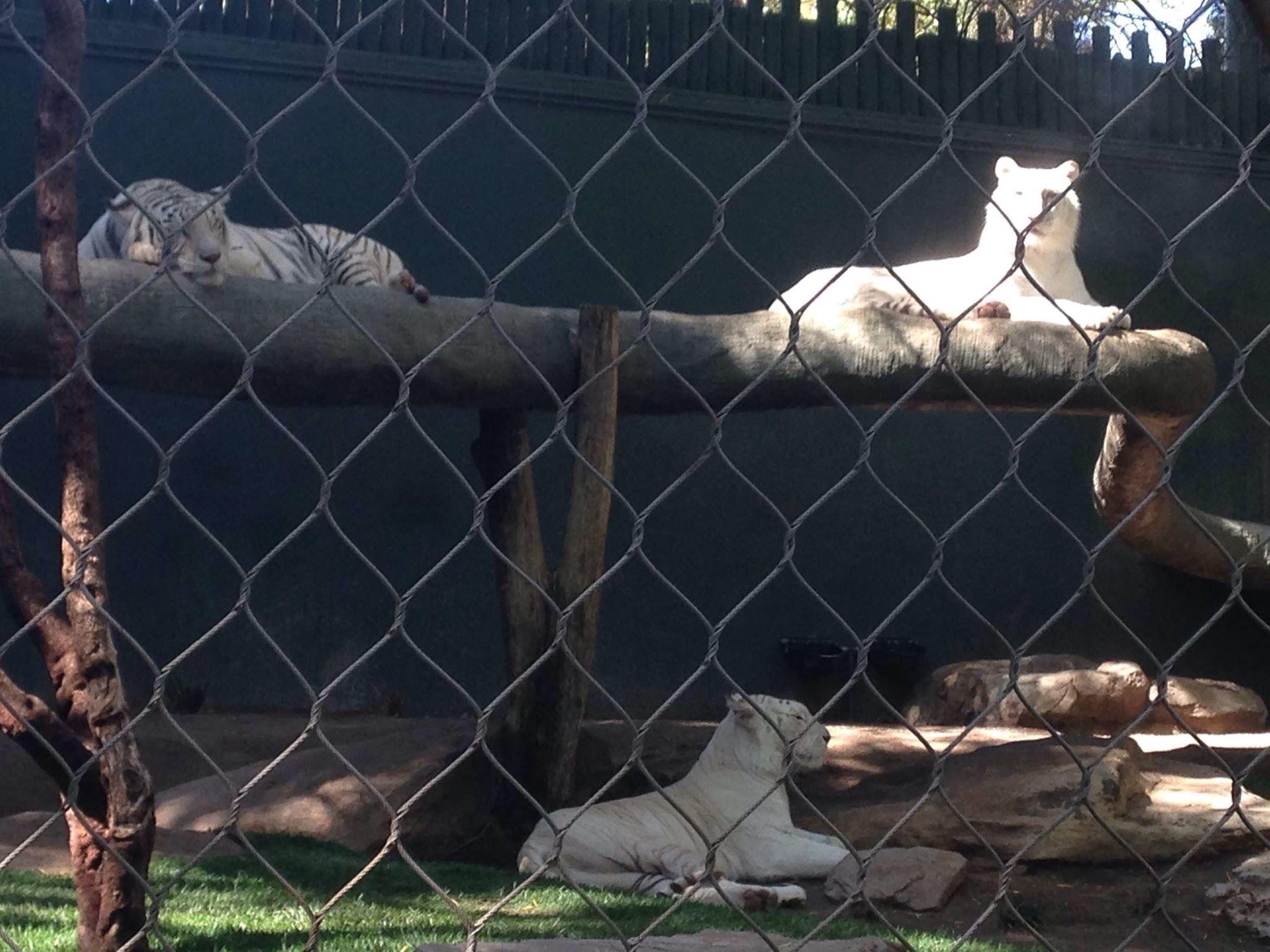 White tigers in Siegfried and Roy's Secret Garden, Mirage Las Vegas
