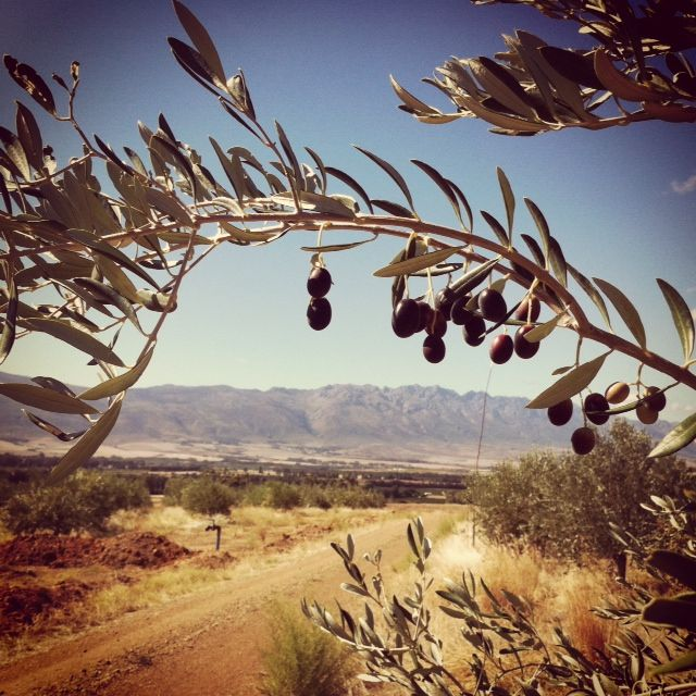 Tulbagh Valley Wild Olive Farm in South Africa. One of our favorite agriculture pins of the week 8/6.