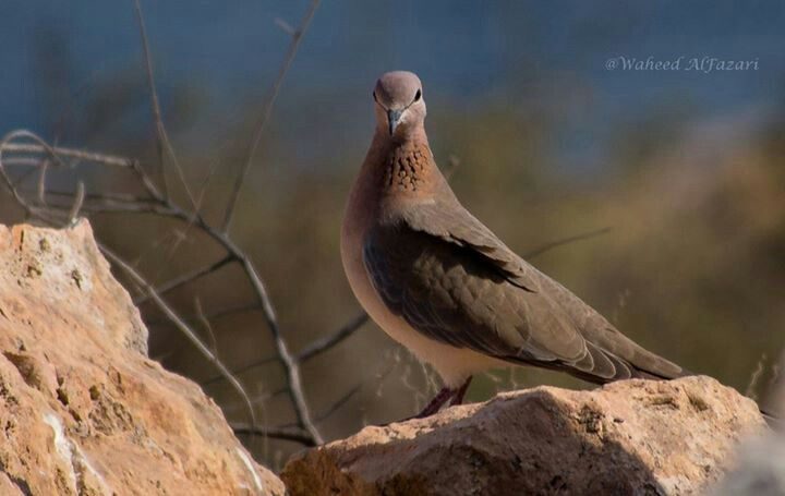 Beautiful Birds of Oman