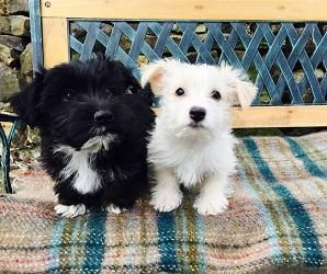 Super Cute Wottie Westie X Scottie Pups For Sale In Nelson