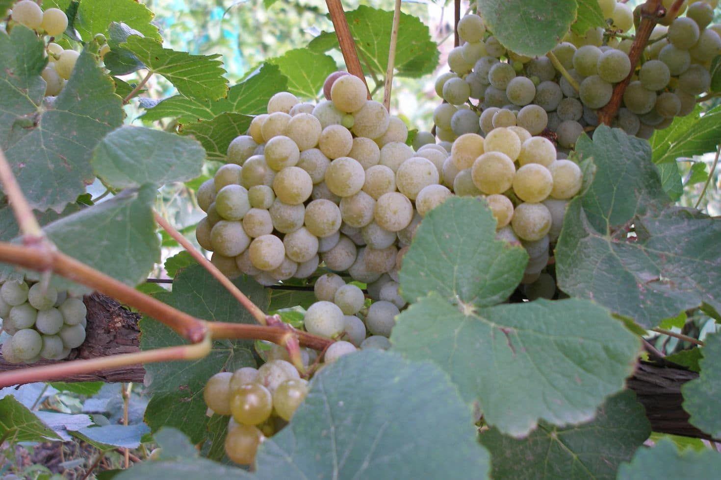 Виноград-видео по выращиванию и уходу 374