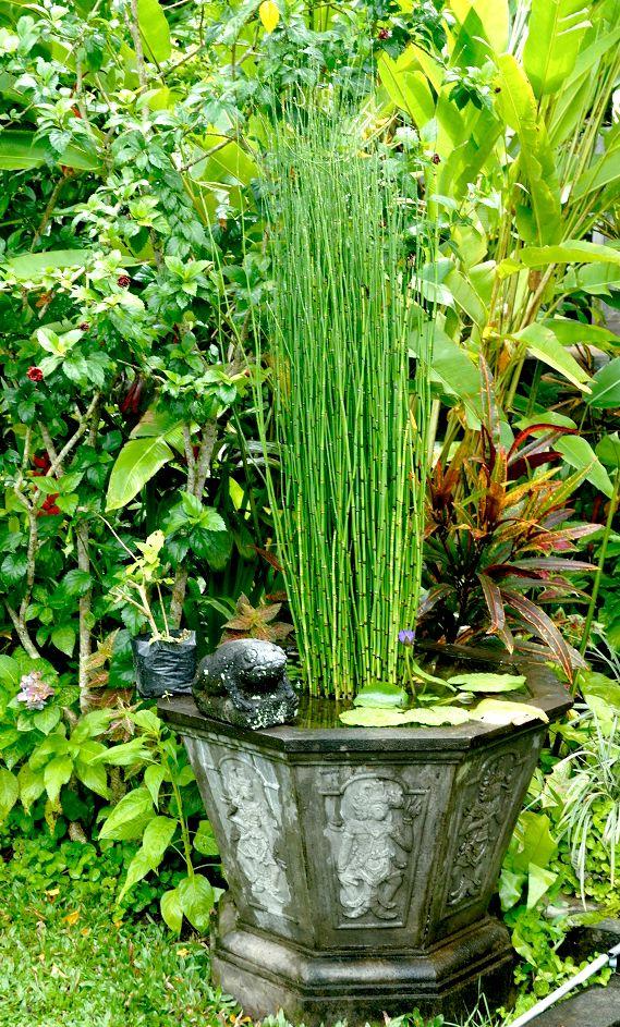 equisetum hyemale pr le d hiver plante vivace feuillage persistant fiche d 39 identit vari t s. Black Bedroom Furniture Sets. Home Design Ideas