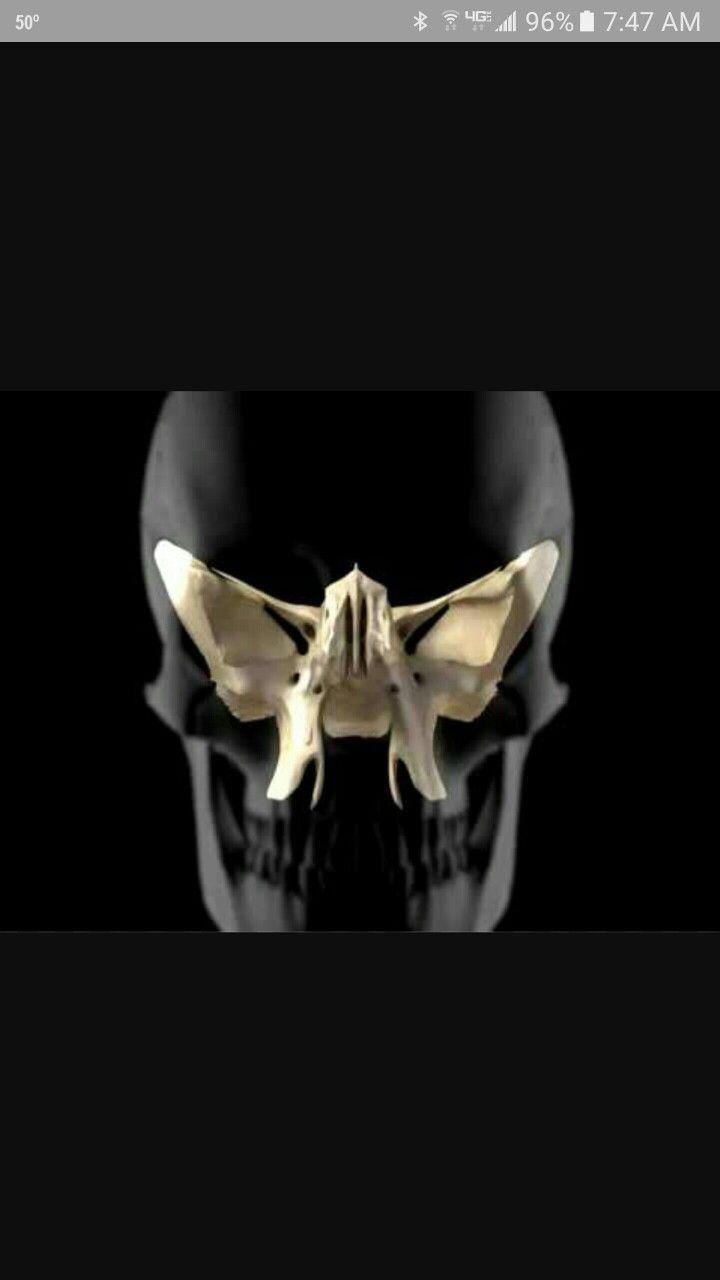 the sphenoid bone - human anatomy | osteology | pinterest | human, Human Body