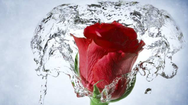 Fresh Rose Flower Hd Wallpaper For Windows Pc Laptop And Android