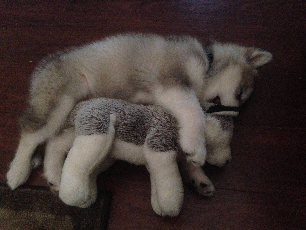 Here S Luca The Alaskan Malamute Back When She Was 8 Weeks Old