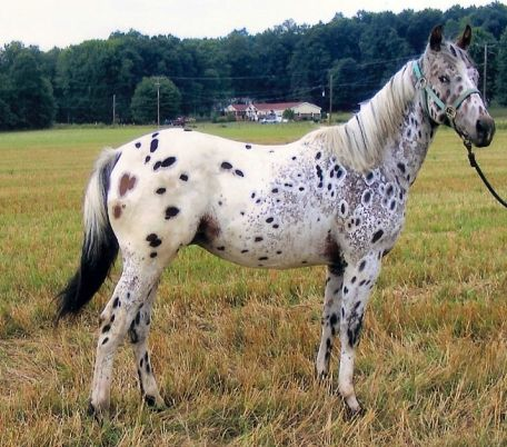 This horse has interesting appaloosa coloring, with light