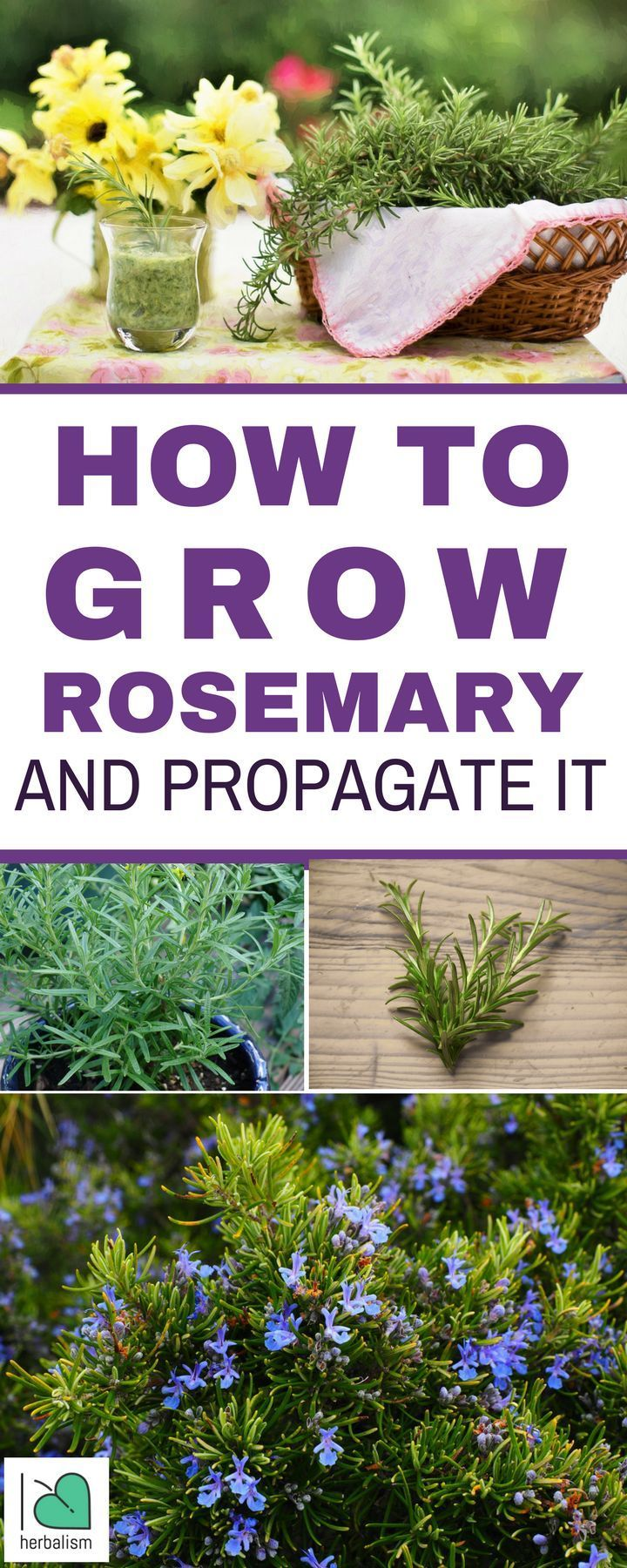 Fragrant Delicious Rosemary Is A Wonderful Herb To Grow 400 x 300