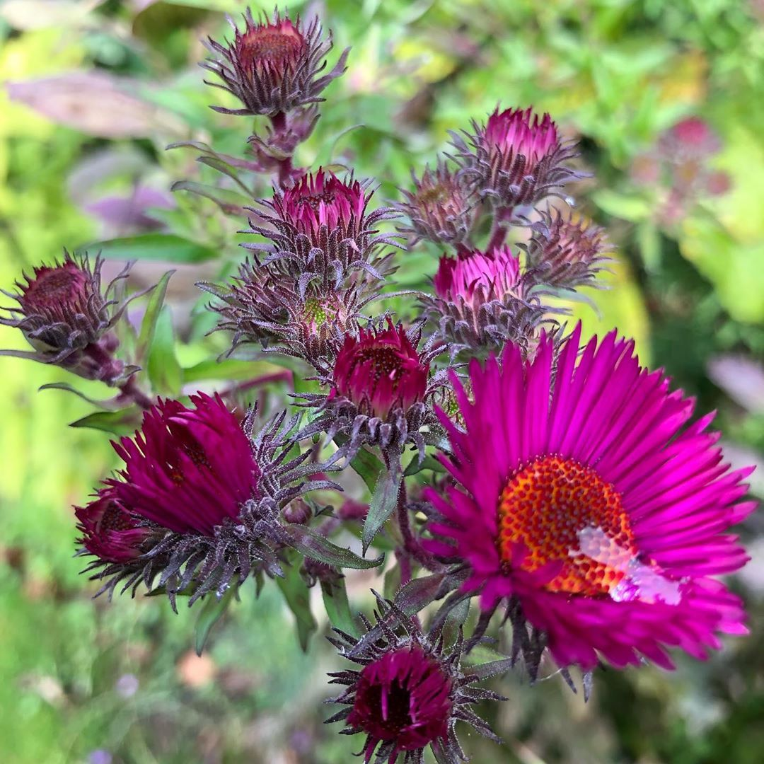 Asters Very Hardy Plant The Name Comes From A Greek Word Meaning