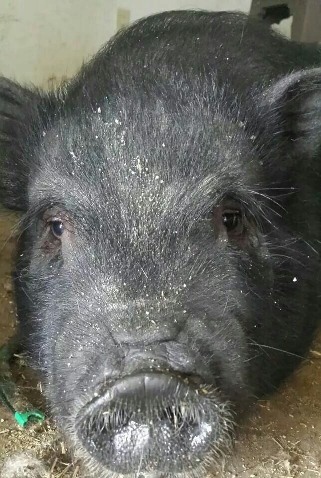 Love potbelly pigs!