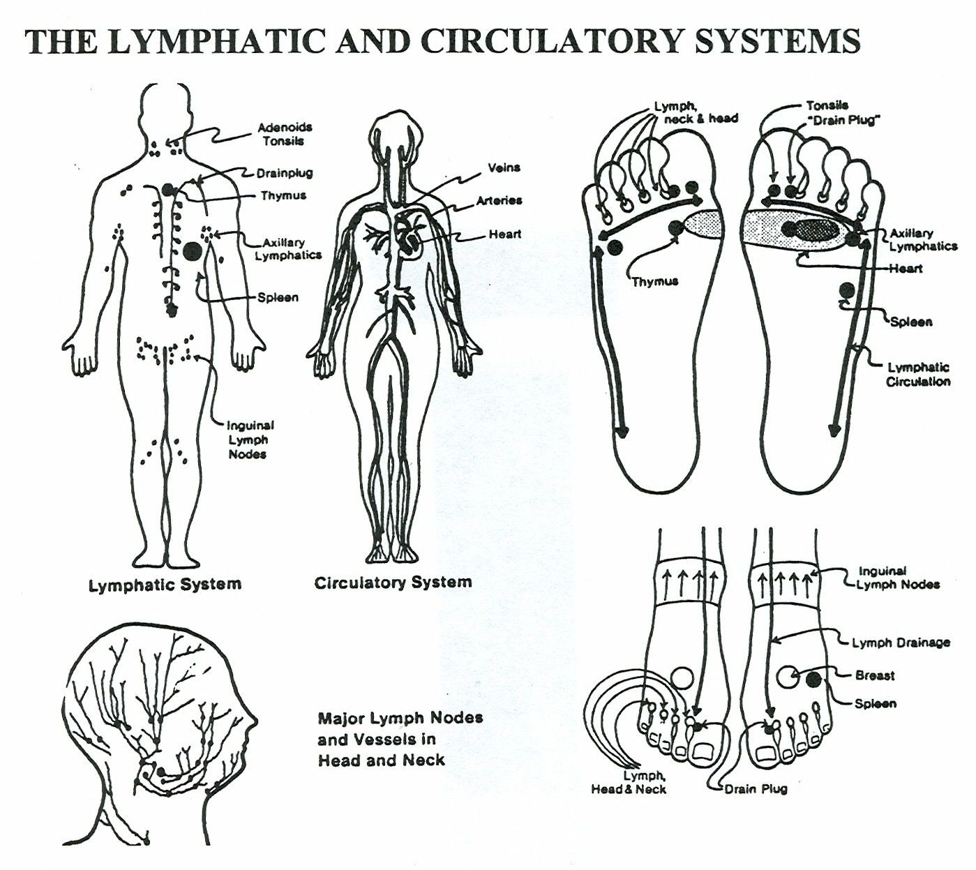 Lymph part of the circulatory system - Lymphatic System All Great Spots To Massage To Get The Lymph Flowing Towards The Heart