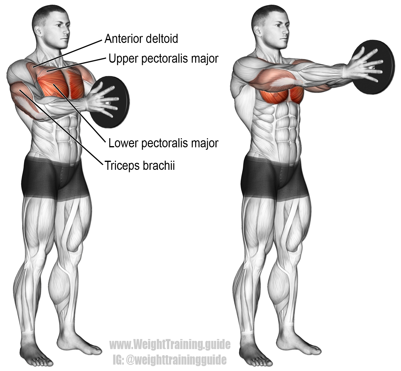 Svend press. A compound push exercise. Main muscles worked: Lower ...