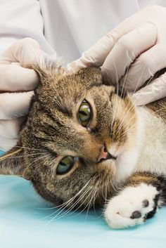 10 Best Home Remedies For Ear Mites In Cats With Images Cat