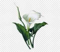 Calla Lily Illustration Arum Lily Lilium Art Watercolor Painting Flower Plant Stem Flower Ca In 2021 White Lily Flower Arum Lily Botanical Illustration Watercolor
