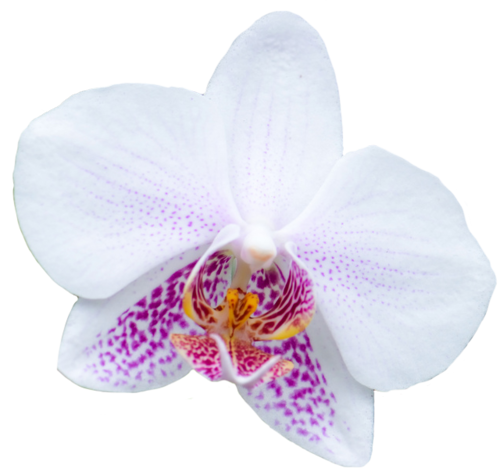 Transparent Flowers White Orchid From The Orchidaceae Family Transparent Flowers Flowers Beautiful Orchids